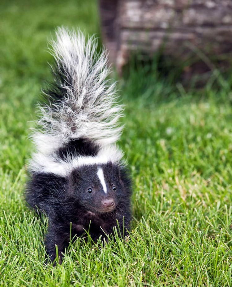 Skunk Baby Food