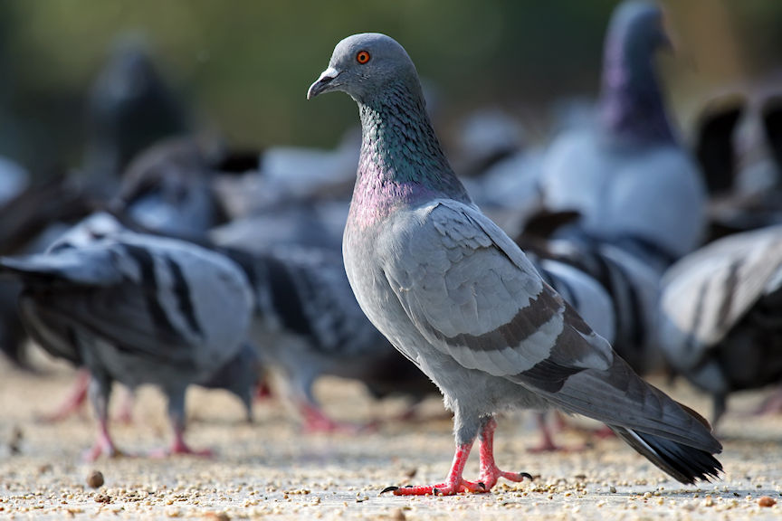 Image of Pigeon Courtesy Wikipedia