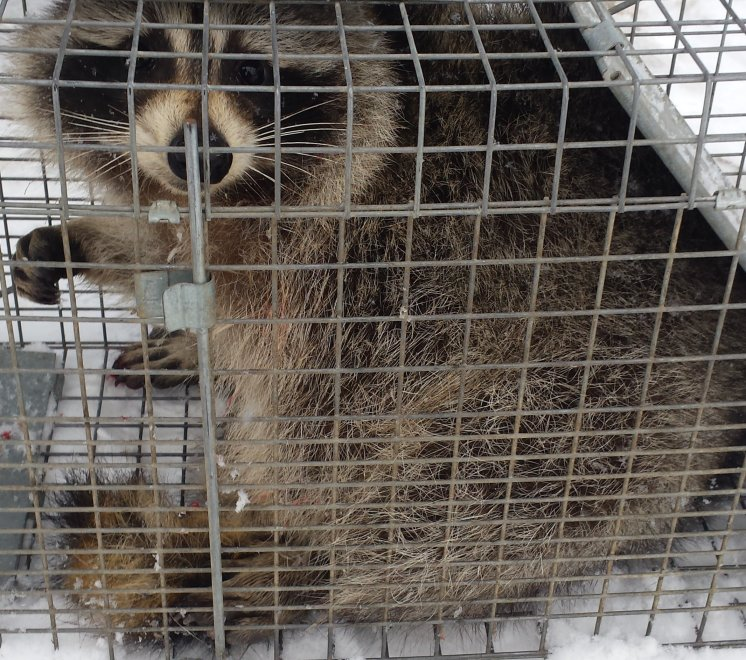 Image of Raccoon in Cage